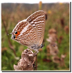 Lampides boeticus mâle