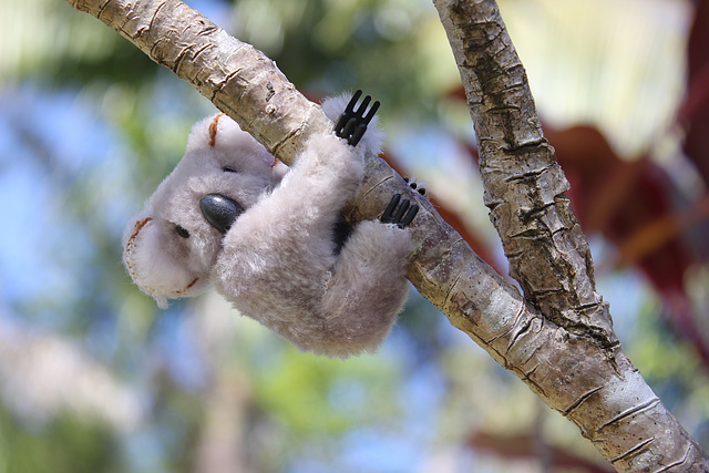 Kool Koala