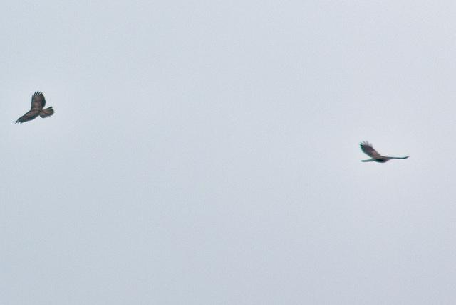 Buzzards - Ravens also seen