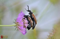 Coupling of beetles