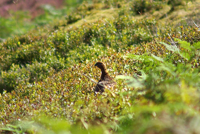 Red Grouse, Bray Clough