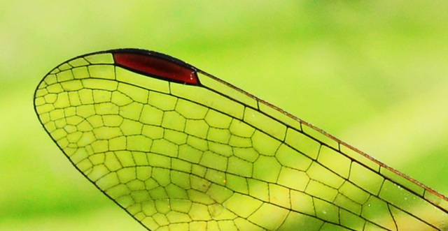 Like a stained glass window.....Dragonfly wing.