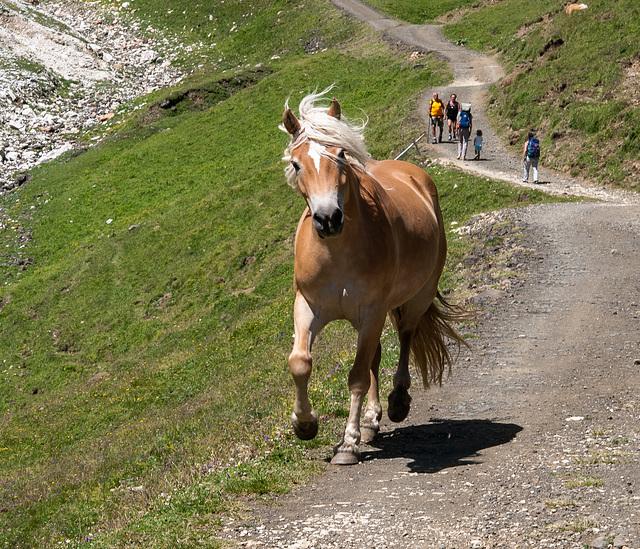 Haflinger auf dem Fahrweg zum Tierser Alpl - 2010-08-01-_DSC2508