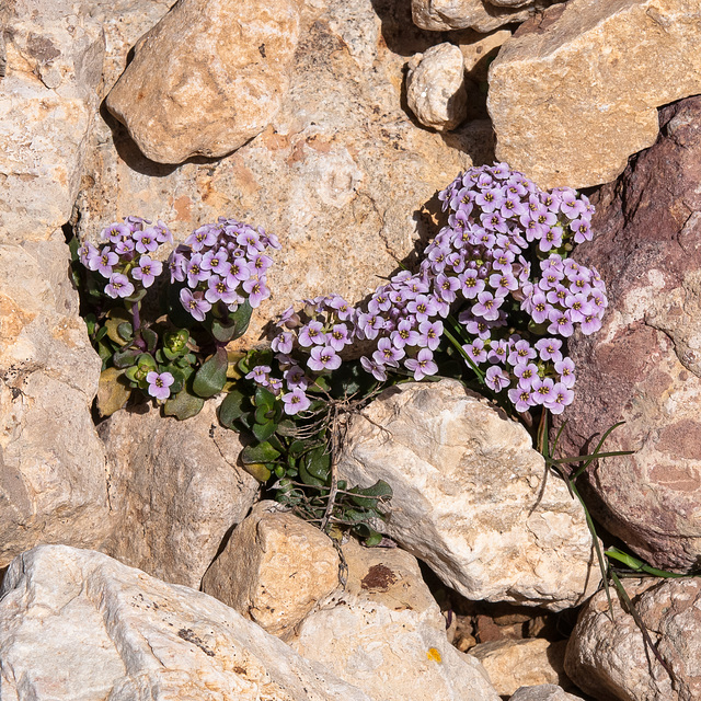 Thlaspi rotundifolium ssp. rotundifolium (ws.) - 2010-08-01-_DSC2554