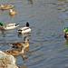 Le royaume des canards….