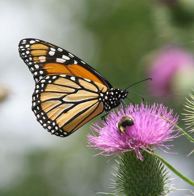 monarque/monarch