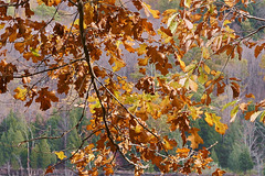 Leaves on a Bed of Pine – Kittatinny Valley State Park, Andover, New Jersey