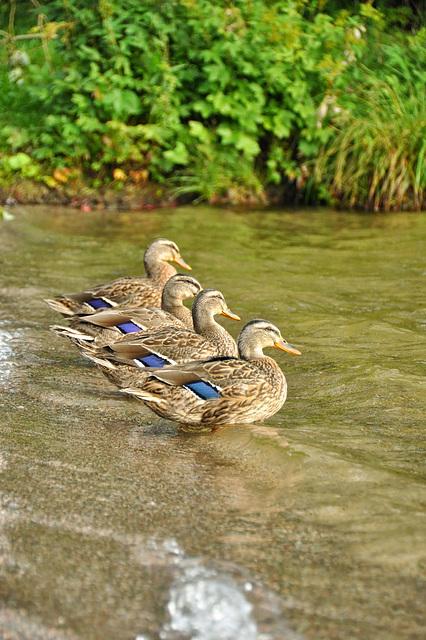 Enten mit blauem Streifen