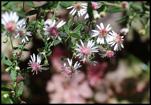 Aster laterifolia