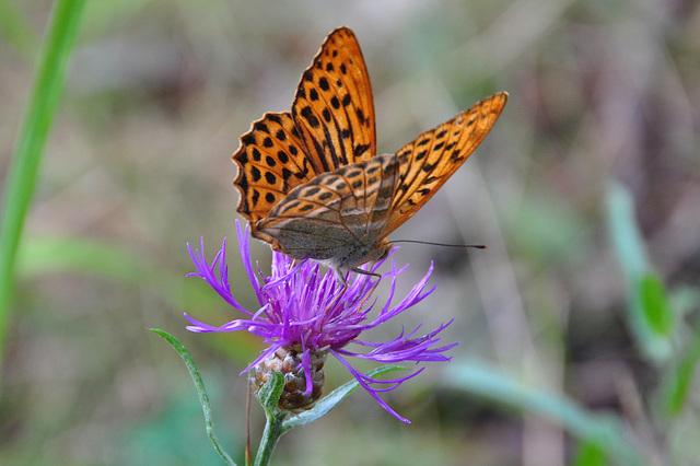 Schmetterling auf Grinda