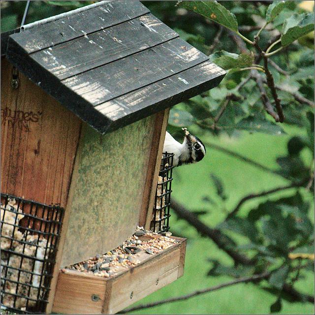 Playing Peekaboo with the Woodpecker