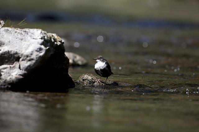 Cincle plongeur (2)