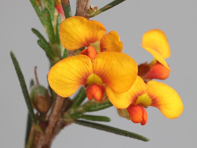 Dillwynia sericea, McLaren Flat