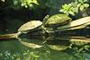 Wasserschildkröten, Zoo Frankfurt