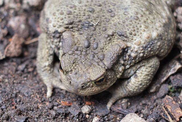 Toad close-up