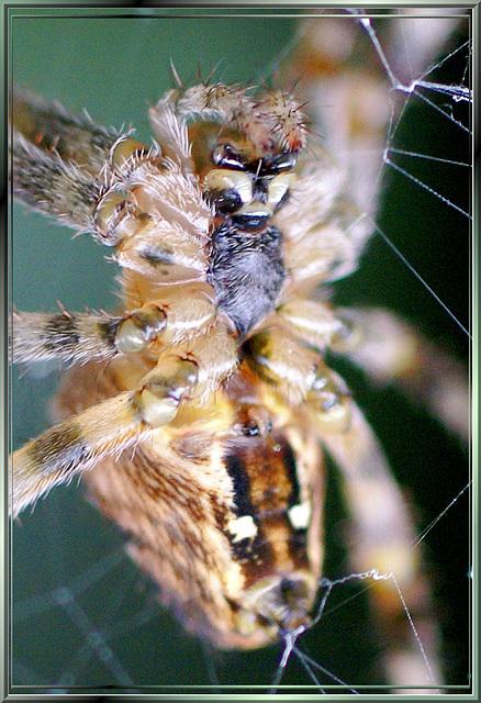 Gartenkreuzspinne (Araneus diadematus) Bauchseite. ©UdoSm