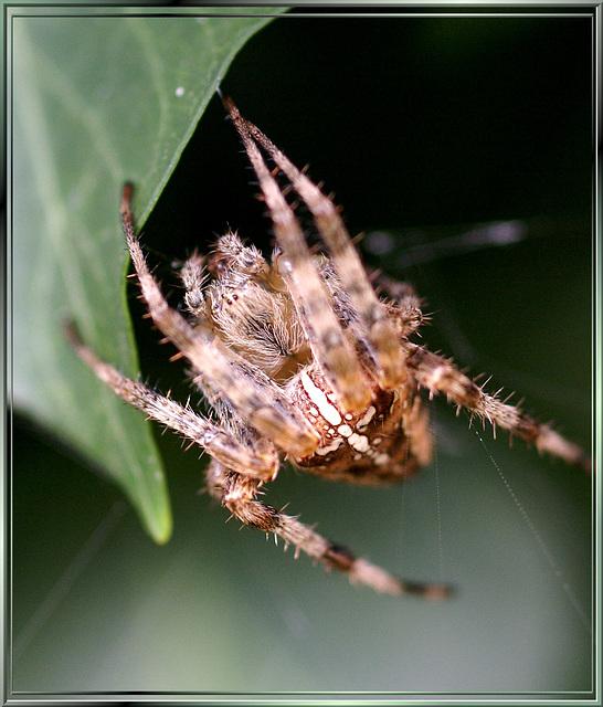Gartenkreuzspinne (Araneus diadematus) Frontseite. ©UdoSm