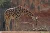 Rothschild-Giraffe (Hannover)