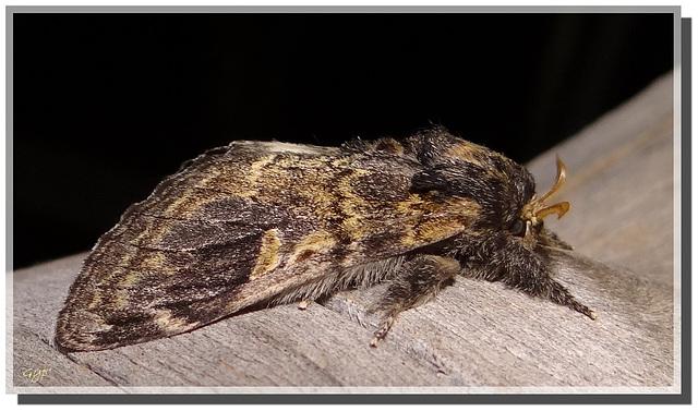 Notodonta tritophus mâle.