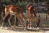 Impalas (Wilhelma)
