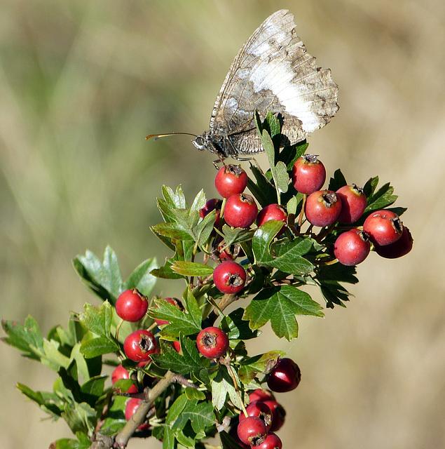 ...papillon gourmand...