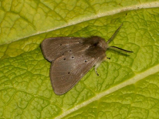 2063 Diaphora mendica (Muslin Moth) M - 9851u