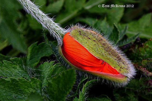 Poppy Bud Explore  2012 027