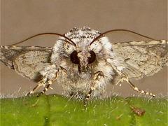 2164 Hecatera bicolorata (Broad-barred White)