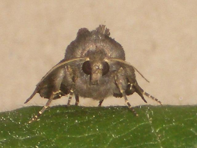 2305 Euplexia lucipara (Small Angle Shades)
