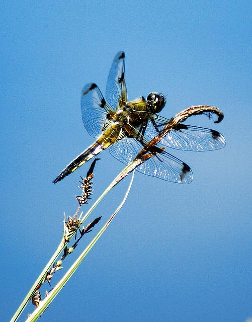 Vierfleck Libelle. Weibchen. ©UdoSm