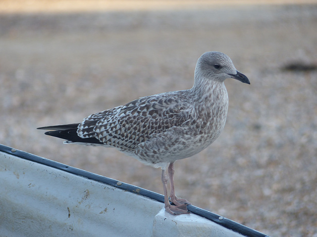 Immature Gull (1) - 31 August 2014