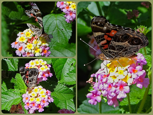 American Lady (Vanessa virginiensis) butterfly Collage