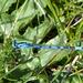Agrion porte-coupe (Enallagma cyathigerum)