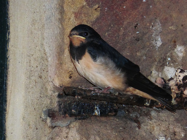 A young swallow leaves the nest