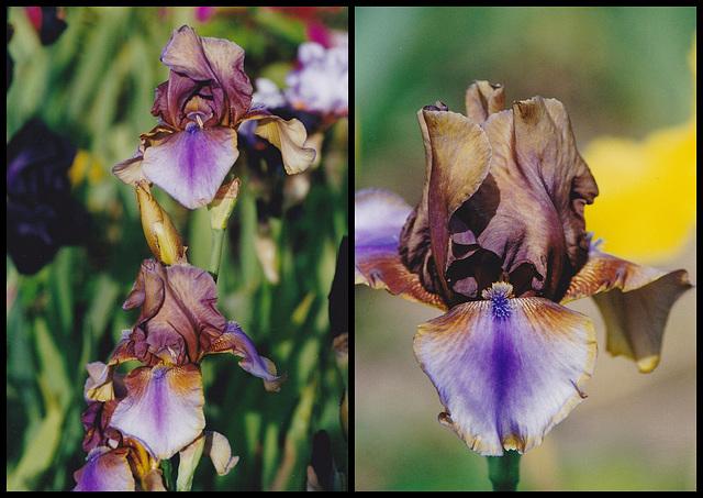Iris Burnt Toffee