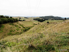 Sheep on Ngaroma Hills