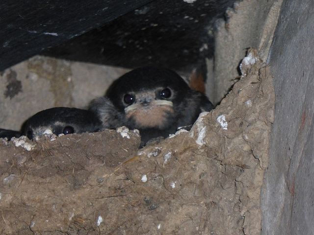 Young swallows in their nest