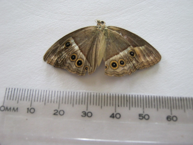 Found it on the path.A Bush Brown, I think, but no idea which