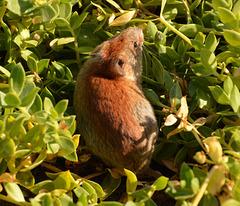 Tundra vole (microtus oeconomus)