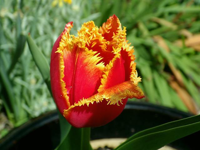 """Lace Fringe Tulip """"Fabio"""""""