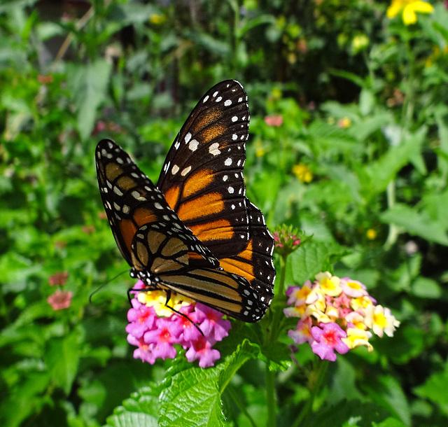 Monarch butterfly  (Danaus plexippus)(f)