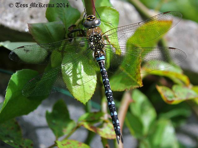 Blue Hawker Dragonly Explore 048 copy