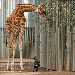 Rabe spricht zu Giraffe
