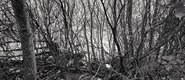 Derbyshire Wye - Goat Willow in Monsal Dale