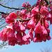Fleurs de cerisier, symbole du printemps au Japon
