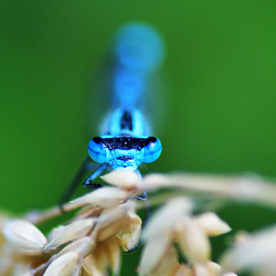 Common Bluet m (Enallagma cyathigerum)
