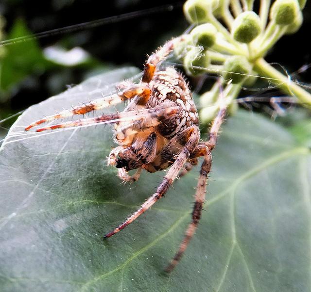Lauf der Natur: Ameise frißt Blattlaus, Kreuzspinne frißt Ameise und Blattlaus. ©UdoSm