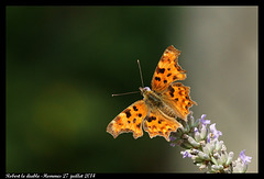 Papillon Robert le diable DSC09530