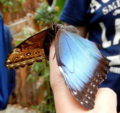 Der Blaue Morphofalter (Morpho peleides). Ein Foto mit Seltenheitswert, da er sowohl eingeklappt als auch aufgefaltet zu sehen ist...  ©UdoSm