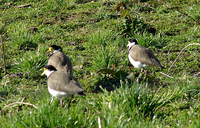 Yellow Wattled Plovers.